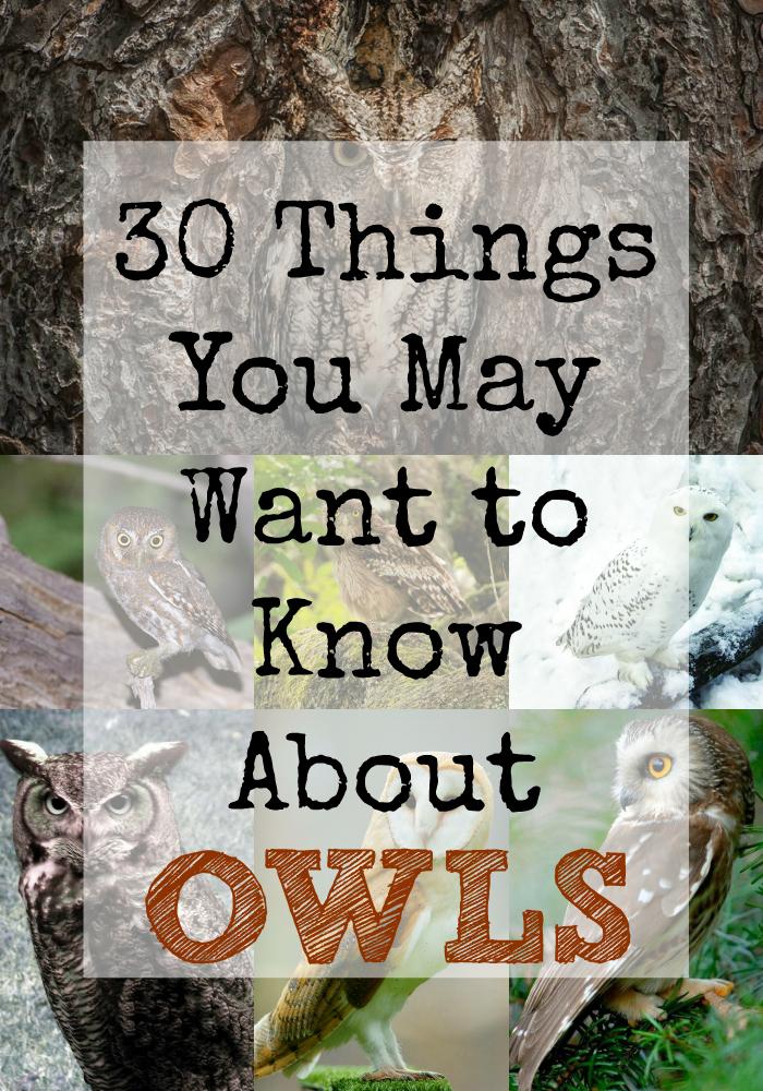Owl (30 Things)