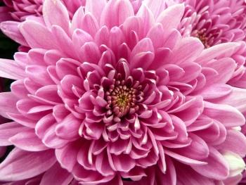 Pink_Chrysanthemum