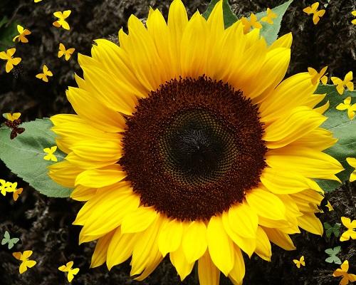 Sunflowerpic
