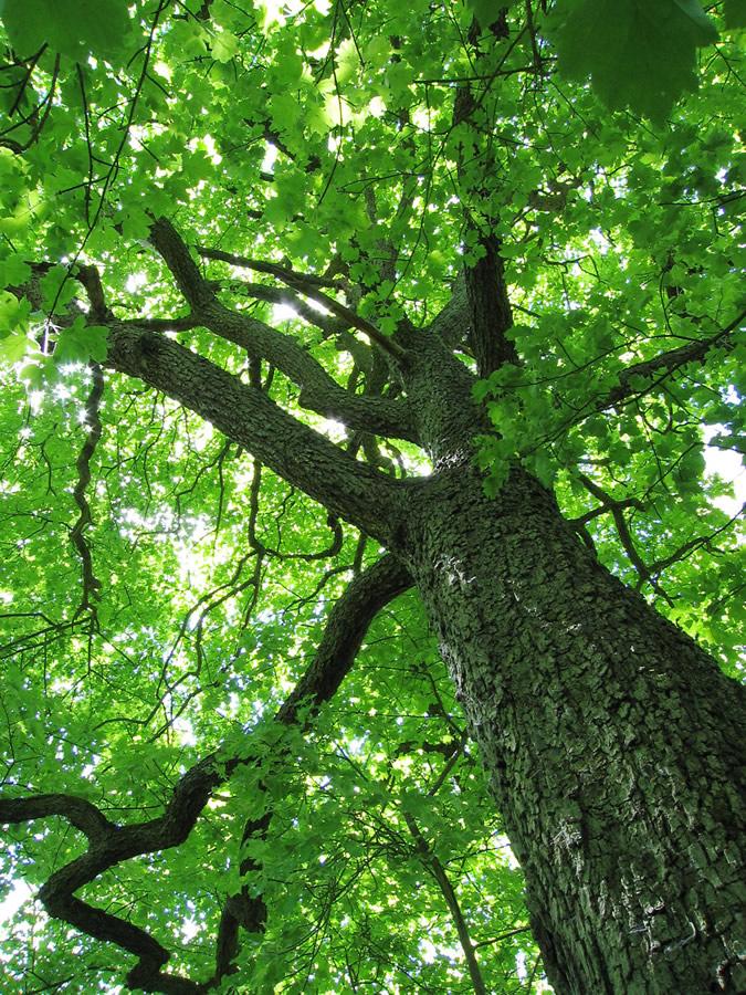 chequers_tree_full